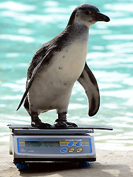 © Licensed to London News Pictures. 22/08/2012. London, UK . A  penguin is  weighed. ZSL London Zoo conducts its annual weigh-in. Each of the 16,000 animals are measured and weighed. The information recorded is sent to zoos around the world. Photo credit : Stephen Simpson/LNP