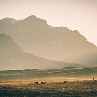 bison on the prairie, glacier national park, montana