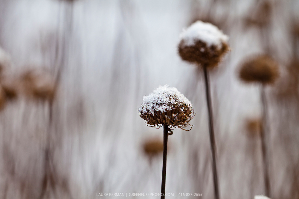 Wild bergamot seedheads in the snow (Monarda fistulosa)