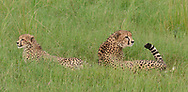 Cheetah with half-grown cub, swishing her tail in an alert rest,  sequence 2. © 2019 David A. Ponton