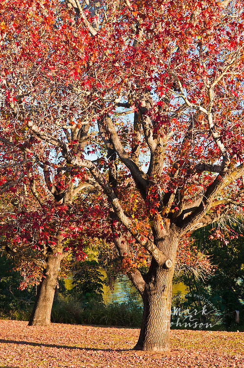 Red leaves on tree, Autumn in Queensland, Australia
