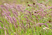 Wild ornamental grasses in wildflower meadow grassland field in Gloucestershire, UK