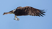 Osprey in flight, Golden Ponds Park, Longmont, Colorado