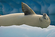 Basking the sun crabeater seal on a iceberg in the Lemaire Channel, Antarctica.