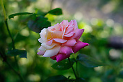 single multi-colored rose