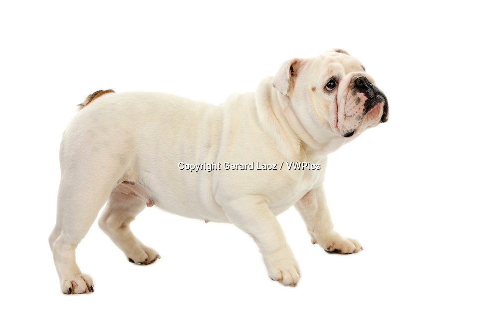 English Bulldog, Female against White Background