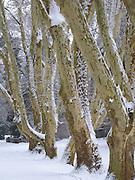 alte Platanen, Schnee, Kuranlagen, Wiesbaden, Hessen, Deutschland | old plane trees, winter, spa gardens, Wiesbaden, Hesse, Germany