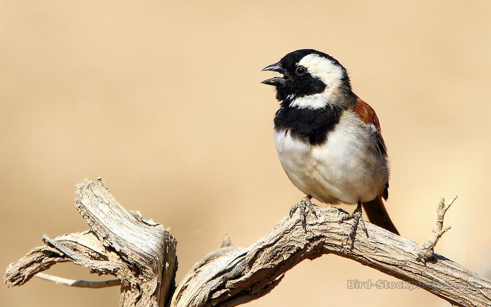 Cape Sparrow, Passer melanurus, Sossusvlei, Namibia, by Adam Riley