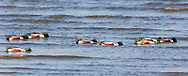 Northern Shovelers (Anas clypeata) forgaging in Mud Bay along the Homer Spit in Southcentral Alaska during their spring migration to the arctic. Evening.