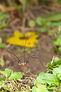 Daddy Longlegs Spider (Opiliones order), passing by.