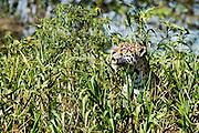BRAZIL, PantanalJaguar (Panthera onca)
