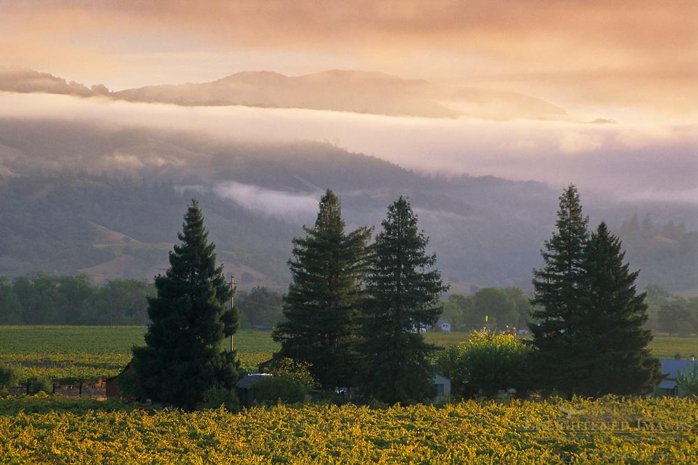 Morning light on vineyards, Geyserville, Alexander Valley, Sonoma County, California