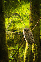 Typical habitat for the barred owl. Every time I've seen them in the wild, they have been in dark, heavily wooded forests or swamps.