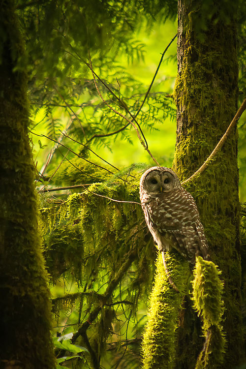 Barred Owl at Dusk | Rich Leighton