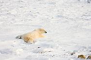 01874-110.10 Polar Bear (Ursus maritimus)  near Hudson Bay, Churchill  MB, Canada