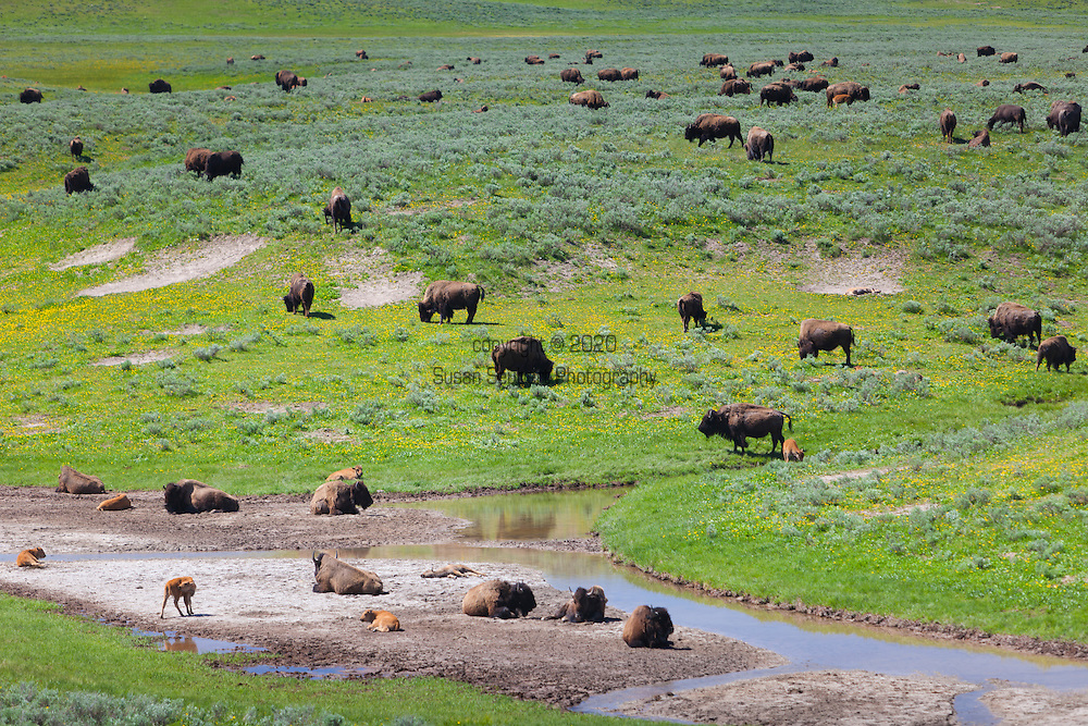 Bison, or buffalo, grazing in Yellowstone National Park, Wyoming