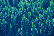 Coniferous forest, Boston Bar Summit, British Columbia, Canada