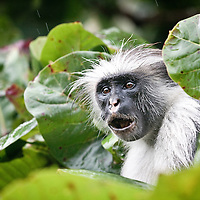 Zanzibar red colobus monkey, Piliocolobus kirkii, an Endangered species from Zanzibar