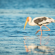 The painted stork (Mycteria leucocephala) is a large wading bird in the stork family. It is found in the wetlands of the plains of Thailand.