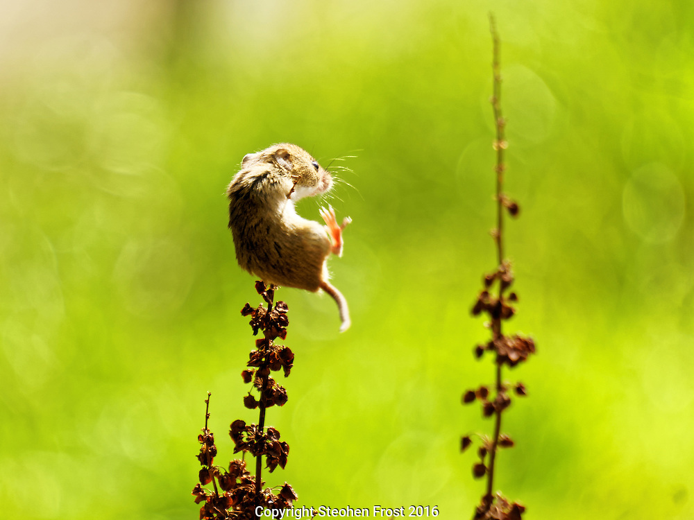 A tiny Eurasian Harvest Mouse (Micromys minutus) just about hangs on in Sussex, England