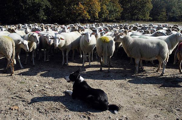 Nederland, Nijmegen, 16-10-2003..In de bossen tussen Nijmegen en Malden loopt een schaapskudde. De schapen begrazen de openplekken, halen het gras weg, om de hei de ruimte te geven, en het gebied op een natuurlijke manier te onderhouden. Een schaapshond houdt de dieren bij elkaar. Milieu, bosbeheer, natuurbeheer...Foto: Flip Franssen/Hollandse Hoogte