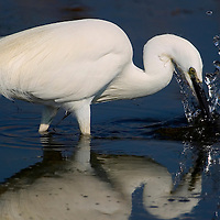 Alberto Carrera, Narural Colors Exhibition, White Heron, Little Egret, Egretta garzetta, Salinas de Santa Pola Natural Park, Región de Murcia, Spain, Europe