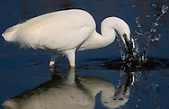 Alberto Carrera, Narural Colors Exhibition, White Heron, Little Egret, Egretta garzetta, Salinas de Santa Pola Natural Park, Región de Murcia, Spain, Europe