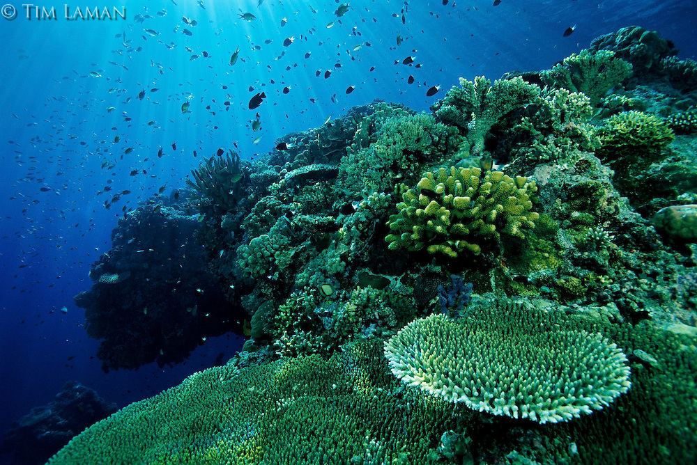 A healthy coral reef at Apo Reef, Phillippines with various hard corals and schools of damselfish and other fish species in clear water.