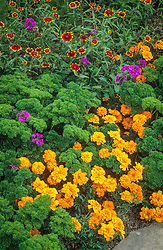 Tagetes patula 'Disco Orange' (marigold ) with Parsley 'Bravour' and Zinnia 'Chippendale'. Petroselinum crispum