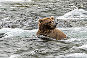 Water swirls around an adult Brown Bear as it searches for spawning Sockeye Salmon at Brooks Falls in Katmai National Park and Preserve September 15, 2019 near King Salmon, Alaska. The park spans the worlds largest salmon run with nearly 62 million salmon migrating through the streams which feeds some of the largest bears in the world.