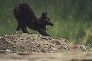 A black colored red fox baby (Vulpus vulpus) is yawning. Yukon Territory, Canada