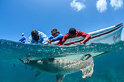 Great Hammerhead (Sphyrna mokarran) Research. Exhausted from being handled the shark is aided with swimming on release.<br /> MAR Alliance is performing population assessments on Sharks, Rays, and Great Barracuda to aid with management and protection. They are collecting samples to determine methyl mercury levels.<br /> MAR Alliance<br /> Lighthouse Reef Atoll<br /> Belize<br /> Central America<br /> ENDANGERED SPECIES