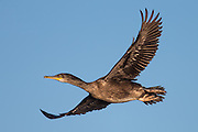 Great cormorant in flight | Storskarv i flukt