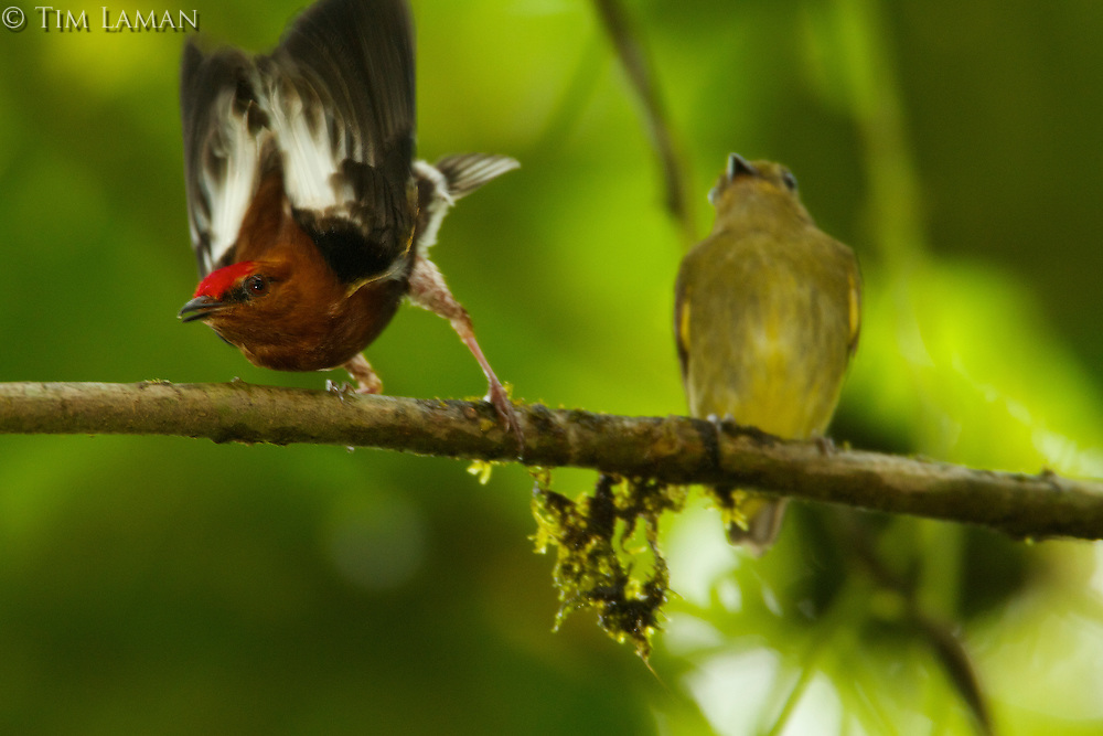 Club-winged Manakin (Machaeropterus deliciosus)..Endemic species to Ecuador...Milpe Cloudforest Reserve.