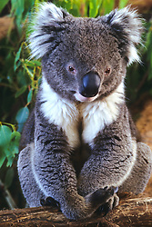 Australia, Tasmania. Koala (phascolarctos cinereus), a tree-dwelling marsupial.