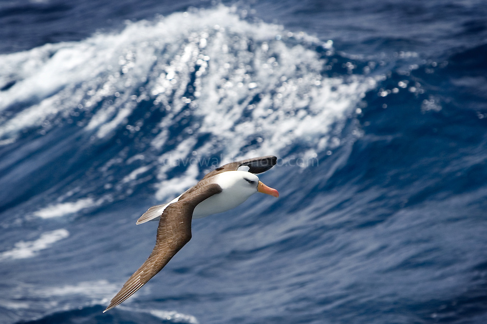 Campbell Albatross or mollymawk, Thalassarche melanophris impavida, in front of a Southern Ocean wave. Yet another albatross on the World Conservation Union's Red List  - listed as vulnerable