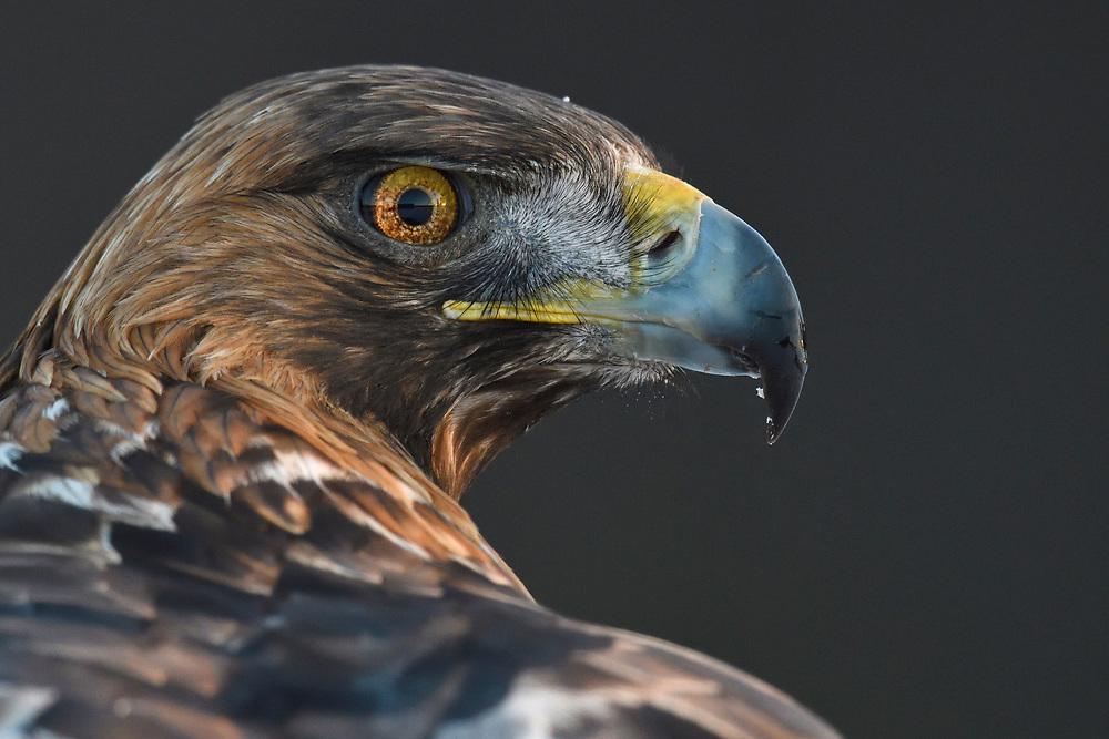 Portrait of a Golden Eagle, Aquila chrysaetos, adult male, Kalvtrask, Vasterbotten, Sweden