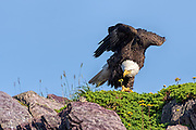 Bald Eagle -  Haliaetus leucophalus hunched up, peering over the edge of the cliff