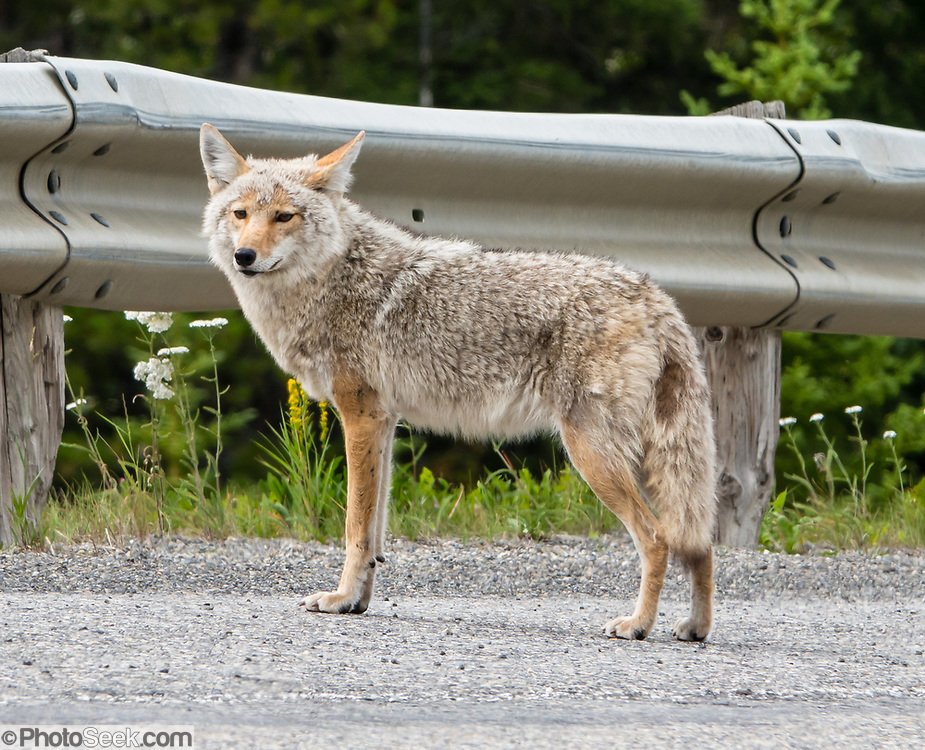 Coyote on roadside in Peter Lougheed Provincial Park, Alberta, Canada.