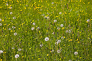 Buttercups and dandelions in summer meadow near Eastleach Martin, The Cotswolds, Gloucestershire, UK