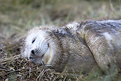July 21, 2019 - Seal Sleeping In Grass (Credit Image: © John Short/Design Pics via ZUMA Wire)