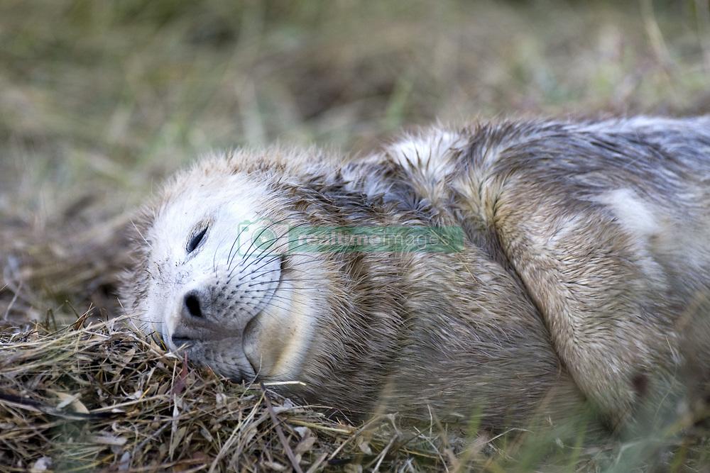 July 21, 2019 - Seal Sleeping In Grass (Credit Image: © John Short/Design Pics via ZUMA Wire)