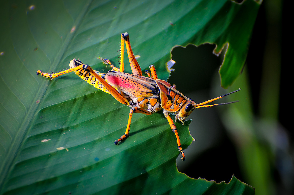 A southeastern lubber grasshopper in the Fakahatchee Strand (in the northwestern part of the Florida Everglades) does what grasshoppers do best - eat vegetation!