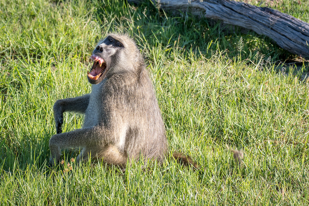 A baboon sitting in the grass bares its teeth. Zimbabwe