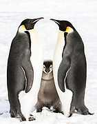 Emperor penguin chick standing between two adults.