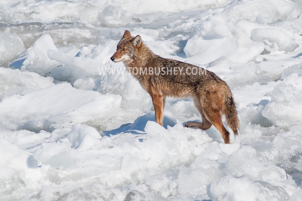 A coyote stands on the ice of the frozen Hudson River near Hudson, New York. The photograph was taken from the Coast Guard cutter Sturgeon Bay, which was icebreaking the shipping channel.