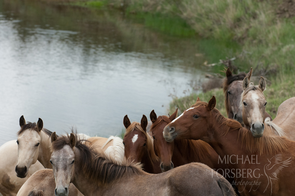 Phillips County, Glaciated Plains, Montana<br /> <br /> Horses in pasture