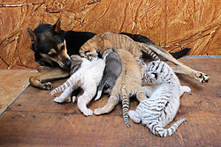 WEIHAI, CHINA - ..Rare Tiger Cubs Nursed By dog . .A dog feeds four tiger cubs born by a 5-year-old Bengal tiger  on June 14, 2017 at Rongcheng County in Weihai, Shandong Province of China. Four tiger cubs, two golden tigers, a snow tiger, a white tiger, are born at the Xixiakou Wildlife Zoo. Working Staff of the Xixiakou Wildlife Zoo found a dog to feed the four baby tigers..©Exclusivepix Media (Credit Image: © Exclusivepix media via ZUMA Press)