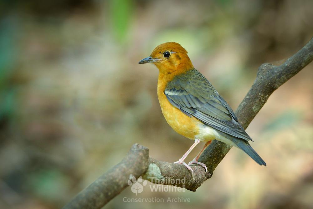Orange-headed thrush (Geokichla citrine) in Kaeng Krachan National Park, Thailand.