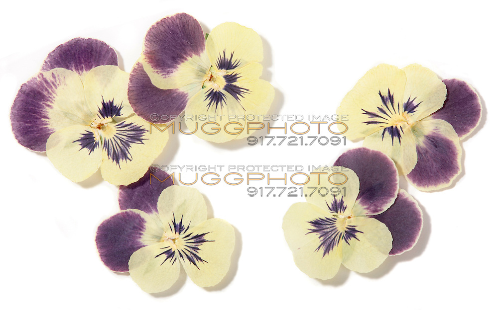 pressed pansy flowers
